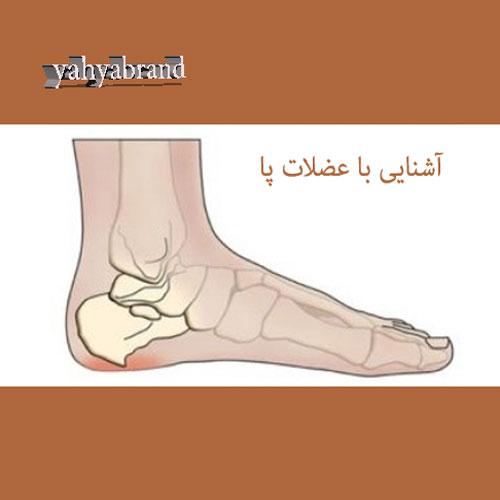 آشنایی با آناتومی کف پاو عضلات پا